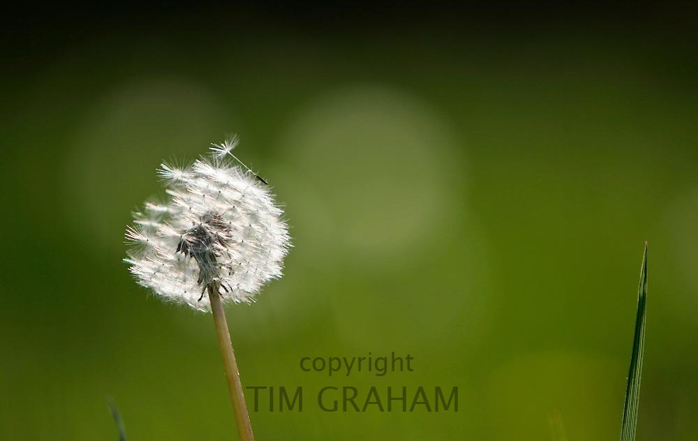 Dandelion, England