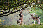Fallow Deer (Dama dama) stag flagging underneath oak trees with a younger male observing him