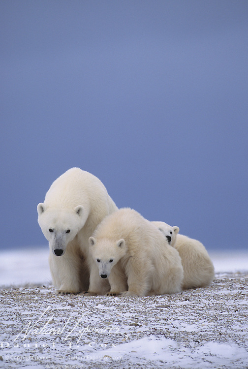 Polar Bear mother and cubs at Hudson Bay. Cape Churchill, Canada