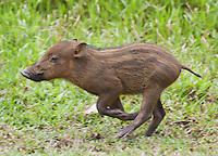 Bearded Piglet, Sus barbatus, Bako National Park, Sarawak, Malaysia