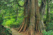 Anciant tree in coastal temperate rain forest, Meares Island, British Columbia, Canada