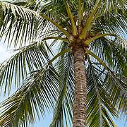 Coconut Palm, Cocos nucifera L., Meinong Township, Kaohsiung County, Taiwan
