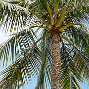 Coconut Palm, Cocos nucifera L., Meinong Township, Kaohsiung County, Taiwan