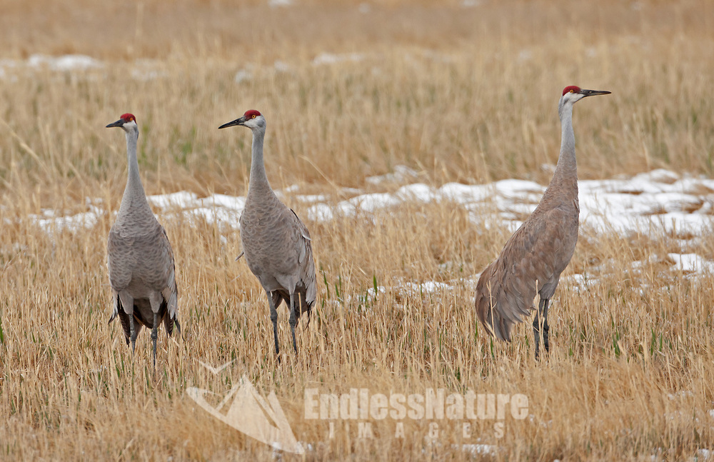 A group of Sandhill Cranes gathers in early April at the Farmington Bay Wildlife Refuge in northern Utah.
