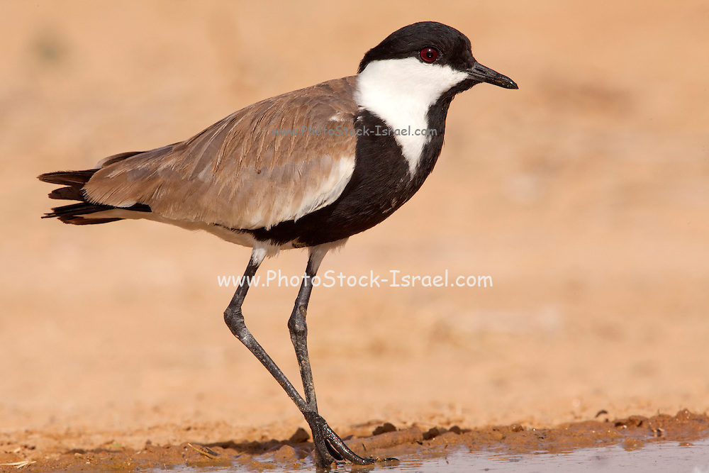 Spur-winged Lapwing (Vanellus spinosus) standing by the water, Northern Negev, Israel