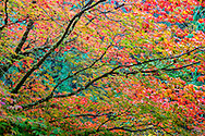 tree in fall color in japanese garden