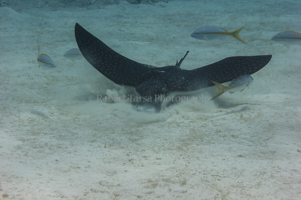 Spotted eagle ray foraging for mollusks in waters off of Little Cayman.