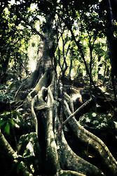 As figueiras são plantas, geralmente árvores, do gênero Ficus, família Moraceae. Também são conhecidas como ficus, gameleira (ou gomeleira) e caxinguba, palavra de origem tupi-guarani. Há cerca de 755 espécies de figueiras no mundo, especialmente em regiões de clima tropical e subtropical e onde haja presença de água. O gênero Ficus é um dos maiores do Reino Vegetal. FOTO: Jefferson Bernardes/Preview.com