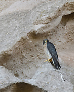 Peregrine falcon perched on cliff of sculpted volcanic tuff, looking toward camera © 2017 David A. Ponton [Prints to 8x10, 16x20, 24x30, or 40x50 in. with no cropping]