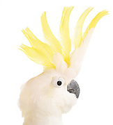 Sulphur Crested Cockatoo (Cacatua galletita). Always hungry for attention, this accomplished break dancer shows off and amazes audiences in the SBBS Avian Ambassador shows.
