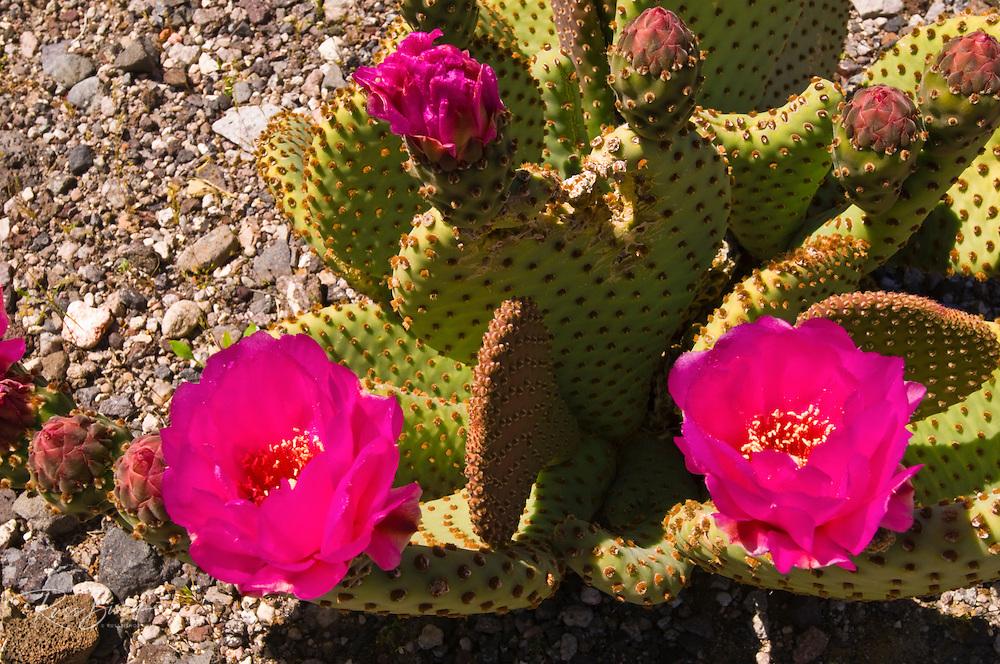 Beavertail cactus (Opuntia basilaris) in bloom, Death Valley National Park. California