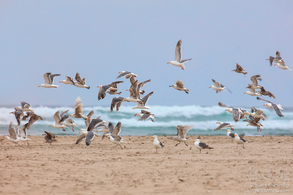 A flock of gulls, primarily western gulls (Larus occidentalis), takes off from Kramer Point near Cannon Beach, Oregon.