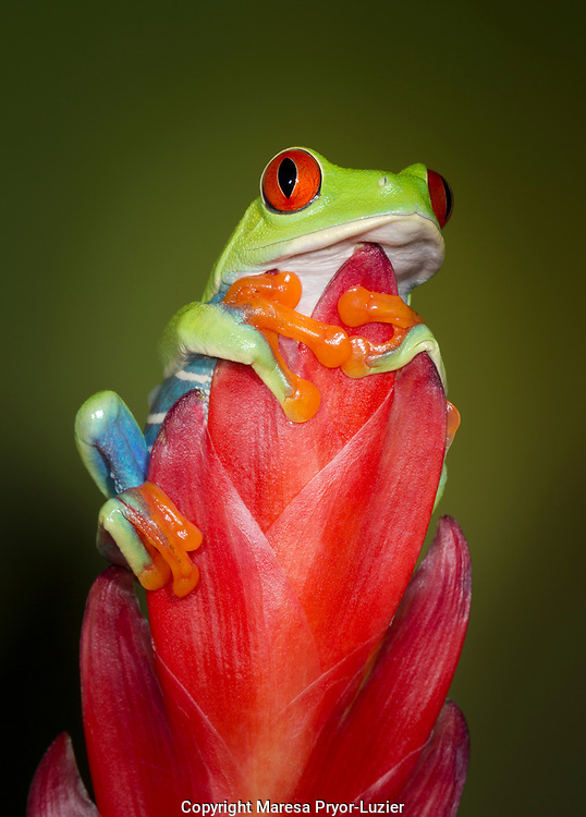 Red-eyed tree frog, Agalychnis callidryas, captive, controlled conditions