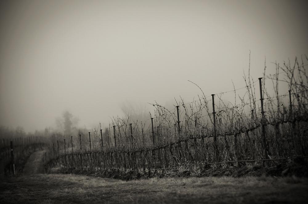 Winter grape vines in Walla Walla Washington