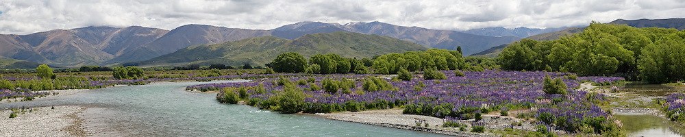 Panoramic of wild lupins along the banks of the braided Ahuriri River, New Zealand.