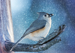 A Tufted Titmouse Snags A Seed In The Winter Snowstorm