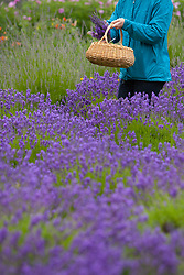 North America, United States, Washington, Sequim, woman cutting lavender in field at Lavender Festival, held annually each July.