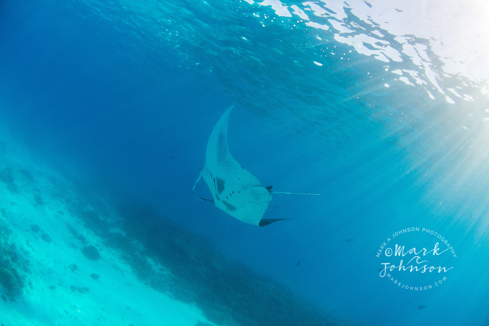 Manta Ray (Manta birostris), Lady Elliot Island, Great Barrier Reef, Queensland, Australia