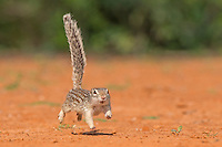 Mexican Ground Squirrel, Spermophilus mexicanus<br /> Photographer:  Hector Astorga<br /> Property:  Santa Clara Ranch/ Beto &amp; Clare Gutierrez<br /> Starr County