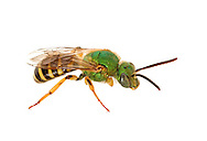 Metallic Green Bee (Agapostemon splendens), male, South Carolina.