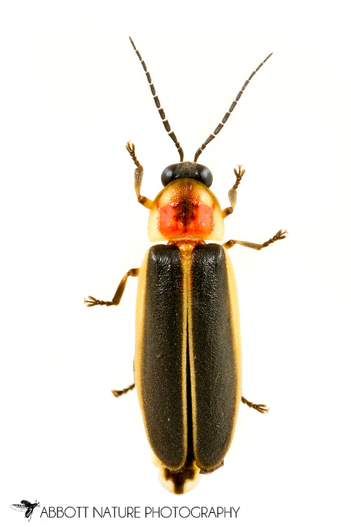 Firefly (Photinus pyralis Group)<br /> United States: Alabama: Tuscaloosa Co.<br /> Tulip Tree Springs off Echola Rd.; Elrod<br /> 27-May-2017<br /> J.C. Abbott #2953