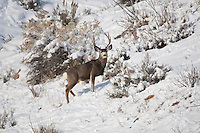 Snow on the ground forces the Mule Deer to their wintering grounds it makes for a great time to see the different  shapes and sizes of the deer in that particular part of the country.