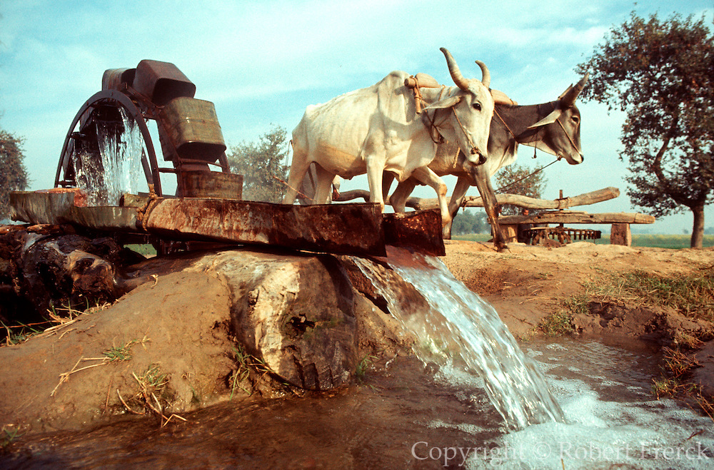 INDIA, AGRICULTURE Cows pull traditional water wheel pump to irrigate fields in central India