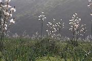 Greece, Macedonia, Mount Olympus National Park flowering Asphodelus