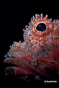 red rock cod or scorpionfish, Scorpaena cardinalis (c), Australia