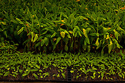 Sete Lagoas_MG, Brasil...Plantacao de bananeiras. Na foto detalhe de mudas...Banana tree cultivation. In this photo sprouds...Foto: LEO DRUMOND / NITRO