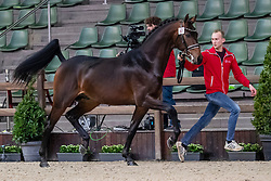 067, Magic Boy<br /> BWP Hengsten Keuring - Lier 2020<br /> © Hippo Foto - Dirk Caremans<br /> 16/01/2020