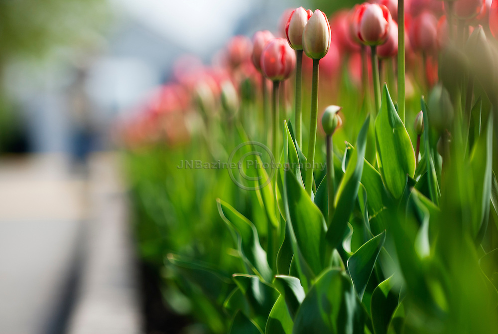 The annual Tulip Festival in Ottawa, Canada showcases beautiful flowers along many roadways.