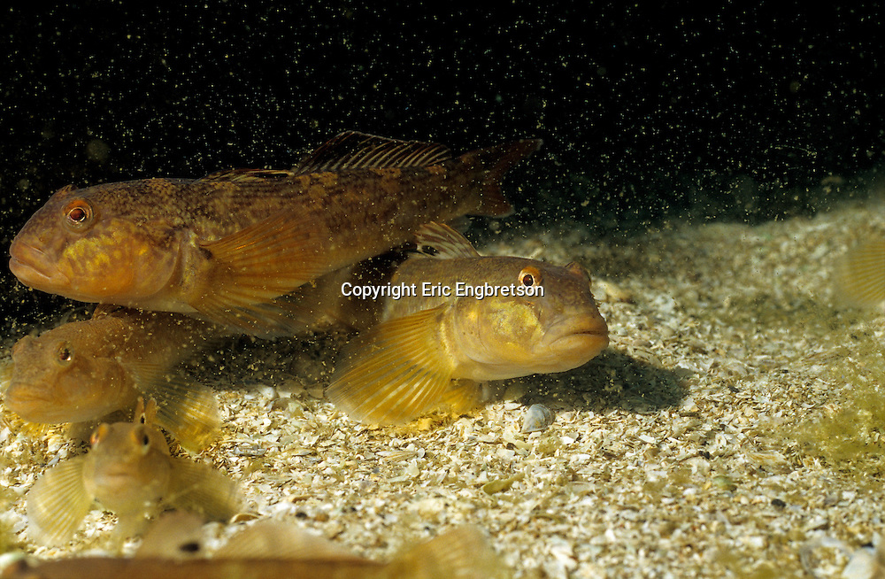 Round Goby (Lake Michigan)<br />