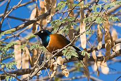 The Superb Starling (Lamprotornis superbus) is a member of the starling family of birds. It can commonly be found in  Samburu National Reserve, located on the banks of the Ewaso Ng'iro river in Kenya; Africa.  / Superb Starling (Lamprotornis superbus), passaro fotografado em Samburu, um dos grandes parques nacionais do Quenia, na Africa, importante refugio de vida selvagem.
