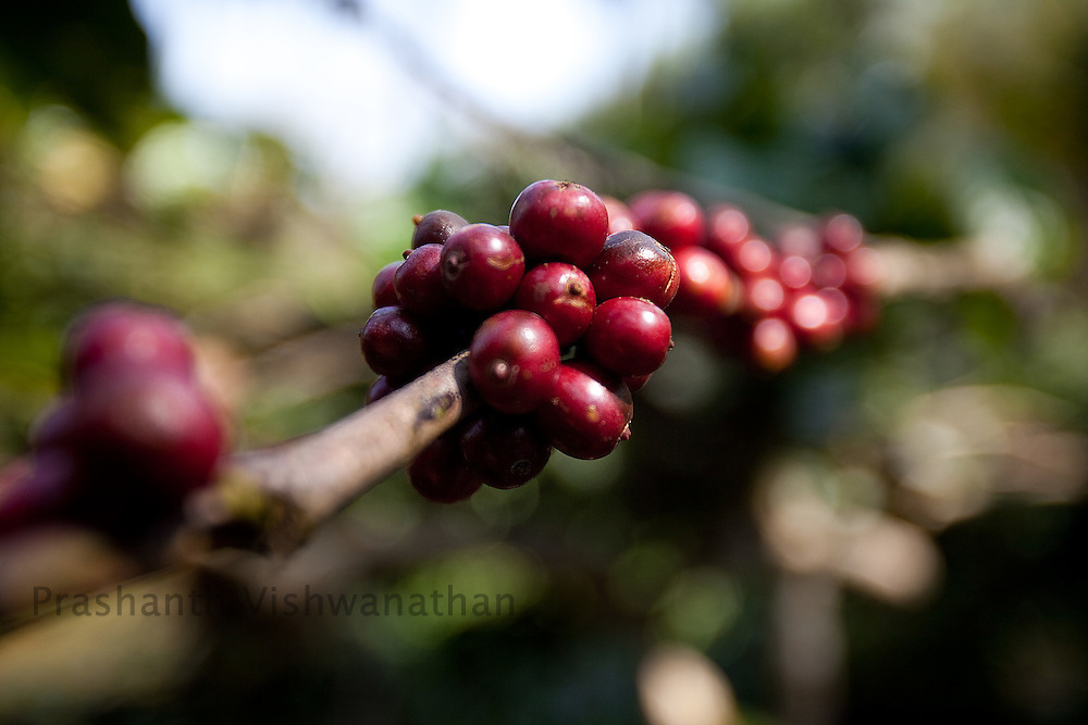 Coffee berries are seen at a plantation in Coorg, India,   on Saturday January 30, 2010. Photographer: Prashanth Vishwanathan/Bloomberg News