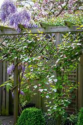 Actinidia kolomikta and wisteria growing up trellis on a pergola