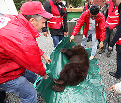 Rescued  - Masha the brown bear. <br /> Masha the bear rescued from a group of mafia who ran a bear bating tournaments. The Four Paws team unload Masha at her new home 100 miles from Kiev in the Ukraine, Monday, 2nd September 2013. Picture by Roger Allen / i-Images