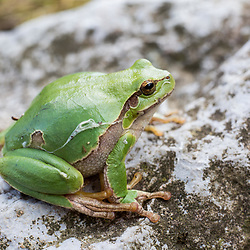 20180410: SLO, Nature - Zelena rega, Hyla arborea, The Little Green Frog