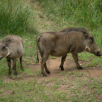 Warthogs inhabit sub-Saharan Africa and are found in grassland, woodland and savanna areas.