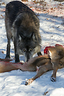 Black wolf feeding on deer carcass in wooded winter habitat. Captive pack.