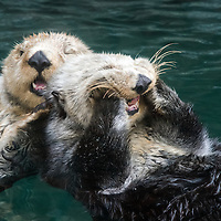 A pair of Sea Otters in Seattle, Washington.