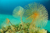 Fan worm (Spirographis spallanzani), Gozo, Maltese Islands