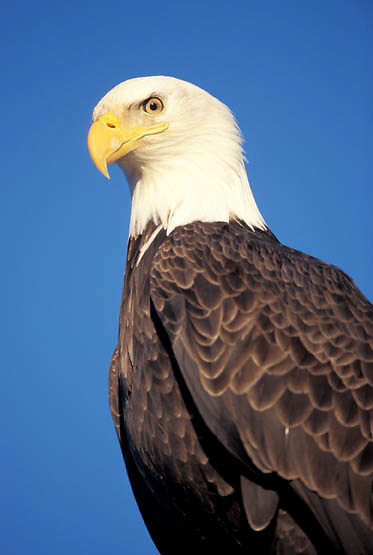 Bald Eagle, (Haliaeetus leucocephalus) Portrait of adult. Alaska.