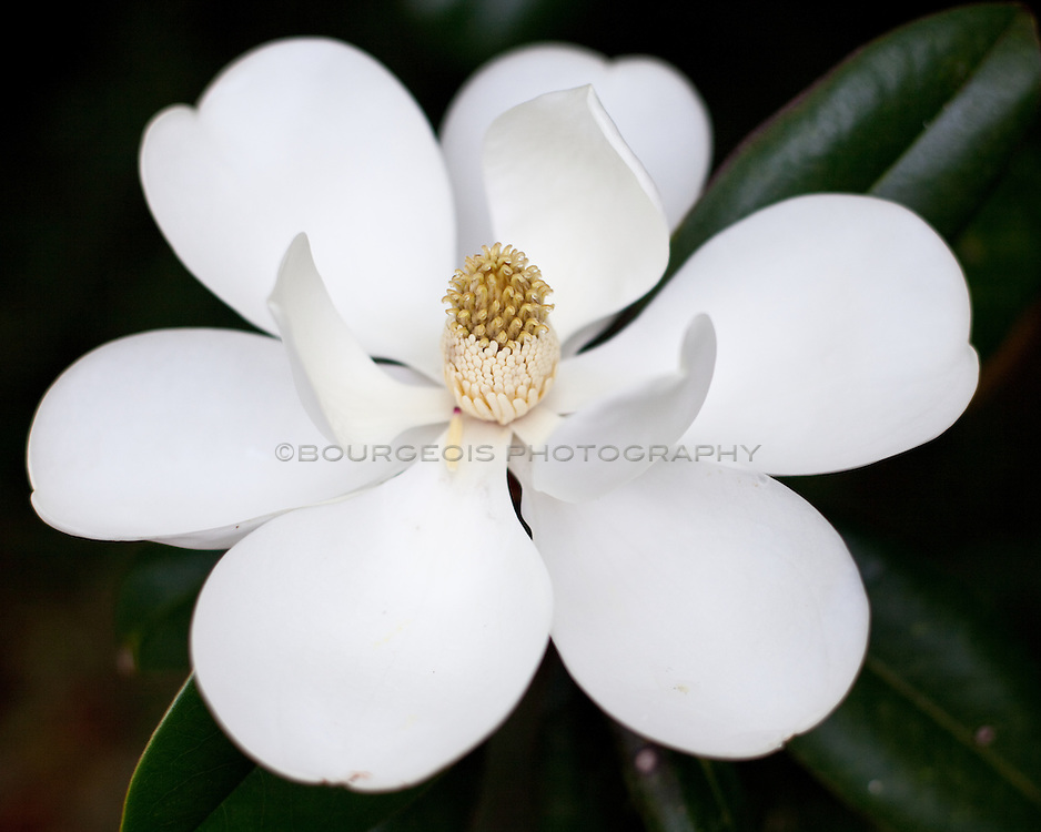 The beautiful magnolia is the state flower for Louisiana and Mississippi. When the weather is cool the flower curls up tight, but when hot, opens up beautifully.