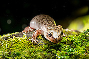 Pacific Giant Salamander (Dicamptodon tenebrosus) photographed at night near Mt. Defiance in the Columbia River Gorge, Oregon.
