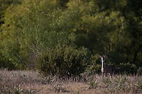 WHITETAIL DEER IN THE BRUSH