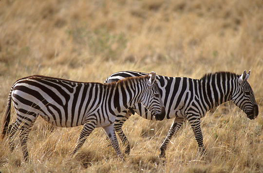 Burchell's Zebra, (Equus burchelli) Adults on Serengeti Plains. Masai Mara Game Reserve. Kenya. Africa.