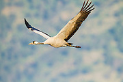 Common crane (Grus grus) in flight. Large migratory crane species that lives in wet meadows and marshland. It has a wingspan of between 2 and 2.5 metres. It spends the summer in northeastern Europe and western Asia, and overwinters in north Africa. It feeds on vegetation, insects, frogs and snakes. Photographed in the Hula Valley, Israel, in November