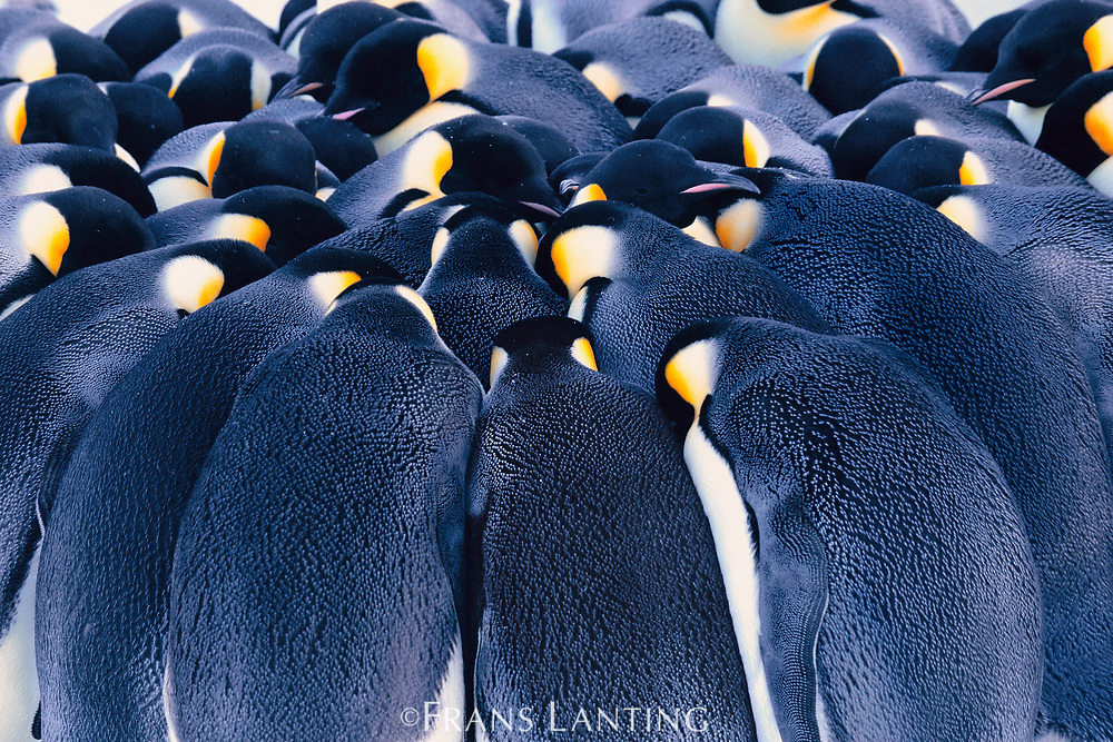 Emperor penguins huddling, Weddell Sea, Antarctica