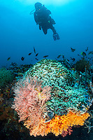 A diver swims over a bommie covered in colorful Soft and Hard Corals<br /> <br /> Shot in Indonesia